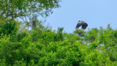 Fliegender Hagedasch-Ibis, Ishasha, QENP, Uganda