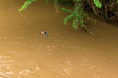 Weniger gestreifte Schwalbe (Cecropis abyssinica / lesser striped swallow), Ishasha, QENP, Uganda