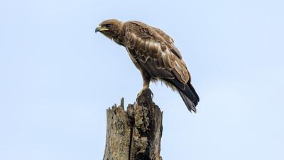 Wahlbergsadler (Hieraaetus wahlbergi / Aquila wahlbergi / Silberadler / Wahlbergadler / Wahlberg's eagle), Ishasha, QENP, Uganda