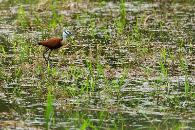 Blatthühnchen (Jacanas), Ishasha, QENP, Uganda