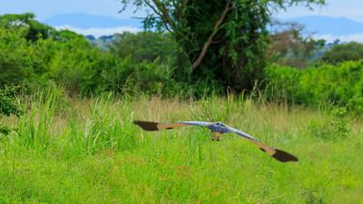 Schwarzhalsreiher (Ardea melanocephala / black-headed heron), Ishasha, QENP, Uganda