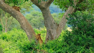 Baumlöwen, Ishasha, QENP, Uganda