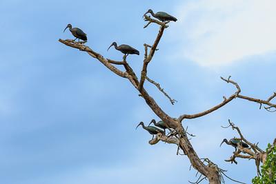 Hagedasch-Ibisse auf kahlem Baum, Ishasha, QENP, Uganda