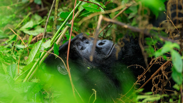 Berggorilla (Gorilla beringei beringei / mountain gorilla) in the rain forest of the Bwindi Impenetrable NP, Uganda