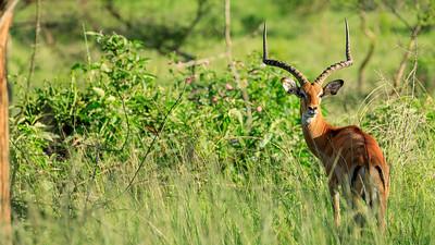 Impala ram in the area of Mburo Safari Lodge, Uganda