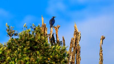 Rüppell's starling in the area of Mburo Safari Lodge, Uganda