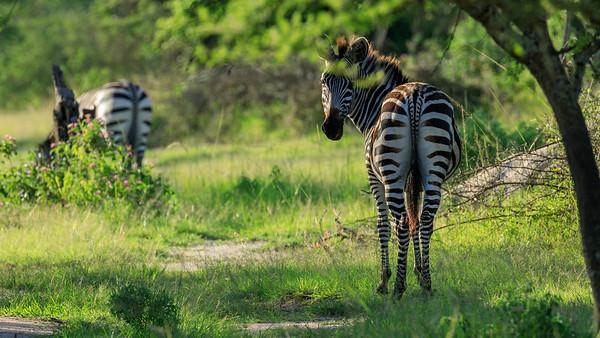 Stallion Burchell-Zebras in the area of Mburo Safari Lodge, Uganda