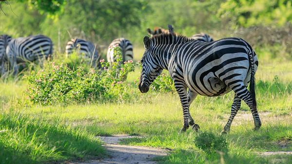 Pregnant Burchell-Zebras in the area of Mburo Safari Lodge, Uganda