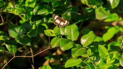 Fluss-Segler (Neptis serena / serene sailer / river sailer / Flusssegelfalter), butterfly in the area of Mburo Safari Lodge, Uganda