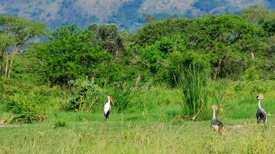 Black crowned crane and saddlebill in the area of Mburo Safari Lodge, Uganda