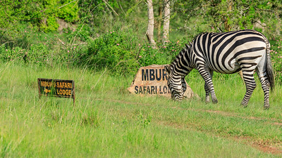 Burchell-Zebras in the area of Mburo Safari Lodge, Uganda