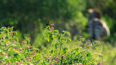 Sunbird in the area of Mburo Safari Lodge, Uganda