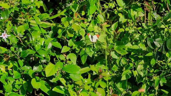 Round-winged orange tip (Pieridae / Weißlinge / Colotis euippe) in the area of Mburo Safari Lodge, Uganda