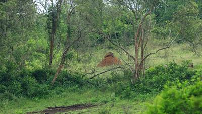Warthog on termites' mound in the Lake Mburo NP, Uganda