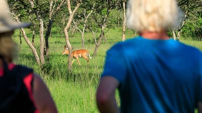 Impala sighting on our Game walk in the Lake Mburo NP, Uganda