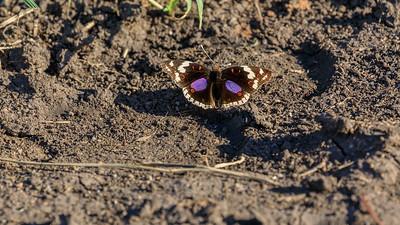 Dark blue pansy (Junonia oenone / blue pansy) butterfly in the Lake Mburo NP, Uganda