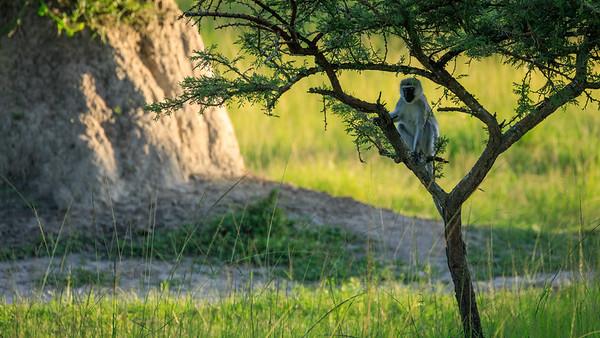 Grüne Meerkatzen (Chlorocebus / green monkey) seen on our Game walk in the Lake Mburo NP, Uganda