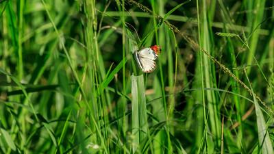 Colotis danae (crimson tip / scarlet tip) butterfly in the Lake Mburo NP, Uganda