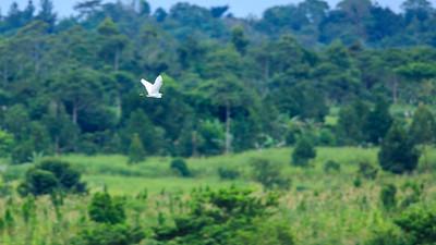 Seidenreiher (Egretta garzetta / little egret), Busowoko Falls, Victoria Nile, Uganda