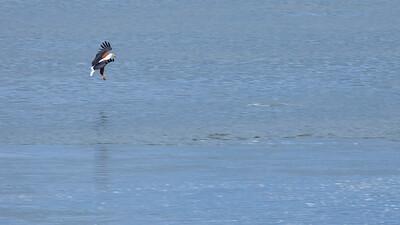 Fliegender Afrikanischer Fischadler (Haliaeetus vocifer / Osprey), Busowoko Falls, Victoria Nile, Uganda