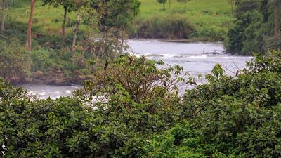 Afrikanische Schlangenhalsvögel (Anhinga rufa / African darter / snakebird), Busowoko Falls, Busowoko Falls, Victoria Nile, Uganda