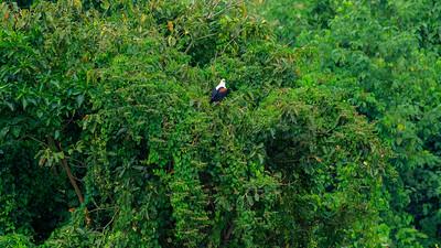 Afrikanischer Fischadler (Haliaeetus vocifer / Osprey), Busowoko Falls, Victoria Nile, Uganda