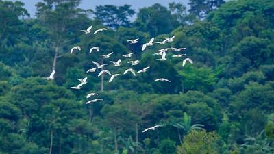 schwarm Seidenreiher (Egretta garzetta / little egret), Busowoko Falls, Victoria Nile, Uganda