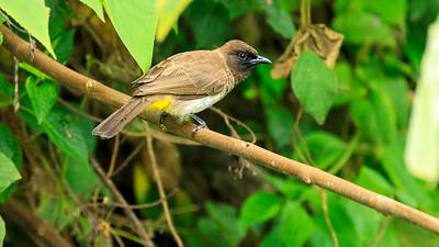 Dreifarbbülbül (Pycnonotus tricolor / dark-capped bulbul), Source of the Nile, Victoria Nile, Jinja, Uganda
