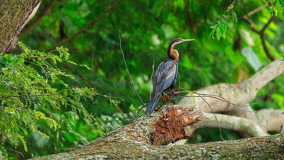Afrikanischer Schlangenhalsvogel (Anhinga rufa / African darter / snakebird), Source of the Nile, Victoria Nile, Jinja, Uganda