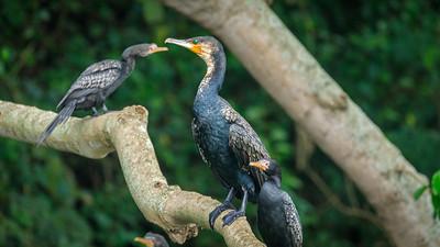 Cormorants, Source of the Nile, Victoria Nile, Jinja, Uganda