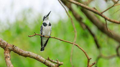 Graufischer (Ceryle rudis / Eisvogel / pied kingfisher), Source of the Nile, Victoria Nile, Jinja, Uganda
