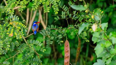Haubenzwergfischer (Corythornis cristatus / Alcedo cristata / Malachiteisvogel / malachite kingfisher), Source of the Nile, Victoria Nile, Jinja, Uganda