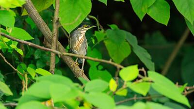 Rallenreiher (Ardeola ralloides / squacco heron), Source of the Nile, Victoria Nile, Jinja, Uganda