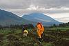 On the way, morning dig. Virunga Mountains, Rwanda