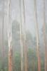 Morning fog and eucalyptus. Lake Bunyonyi, Kabale, Uganda