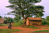 Village road and tree. Jinja district, Uganda
