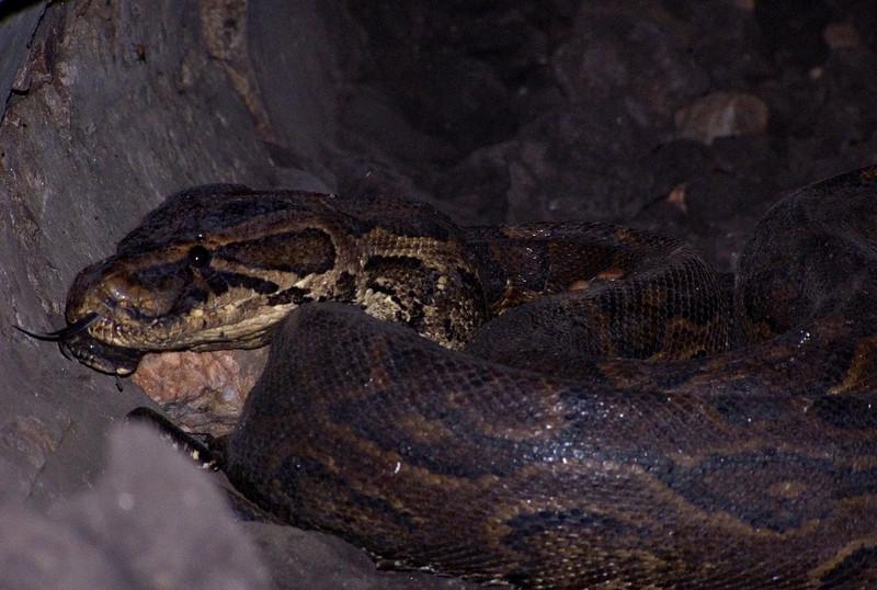 Python, Mweya, Queen Elizabeth NP, Uganda