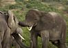 Elephants sparring, Mweya, Queen Elizabeth NP, Uganda