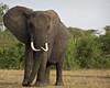 Elephant, Queen Elizabeth NP, Uganda