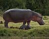 Hippos, Mweya, Queen Elizabeth NP, Uganda