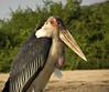 Marabou stork, Mweya, Queen Elizabeth NP, Uganda