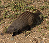 Banded mongoose, Mweya, Queen Elizabeth NP, Uganda