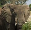 Elephant, Mweya, Queen Elizabeth NP, Uganda