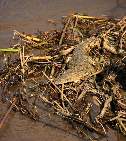 Crocodile, Parc National de la Rusizi, Burundi
