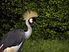 Grey crowned crane, Gisenyi, Rwanda