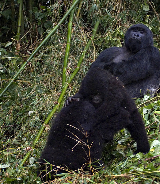 Silverback and little ones, Parc National des Volcans, Rwanda
