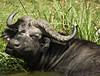 Buffalo, Mweya, Queen Elizabeth NP, Uganda