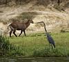 Goliath heron and waterbuck, Mweya, Queen Elizabeth NP, Uganda
