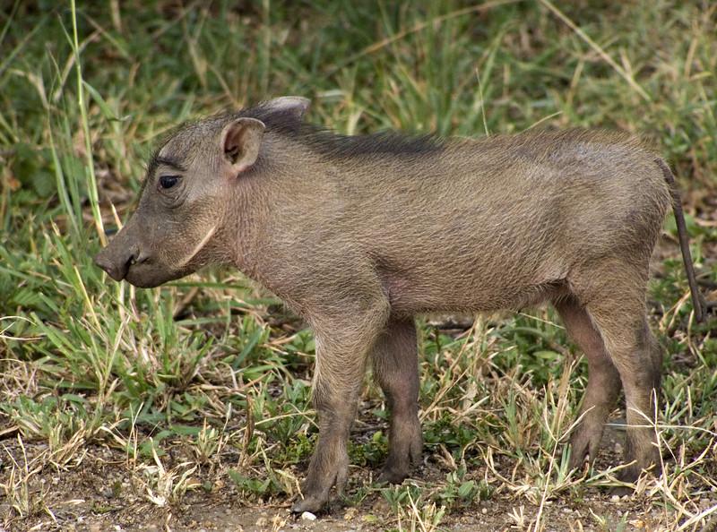 Warthog piglet, Mweya, Queen Elizabeth NP, Uganda