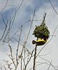 Masked weaver bird, Bujumbura, Burundi